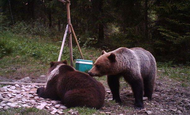 Vierailut villisikojen ruokintapaikoilla ovat tehneet karhut kesymmiksi.