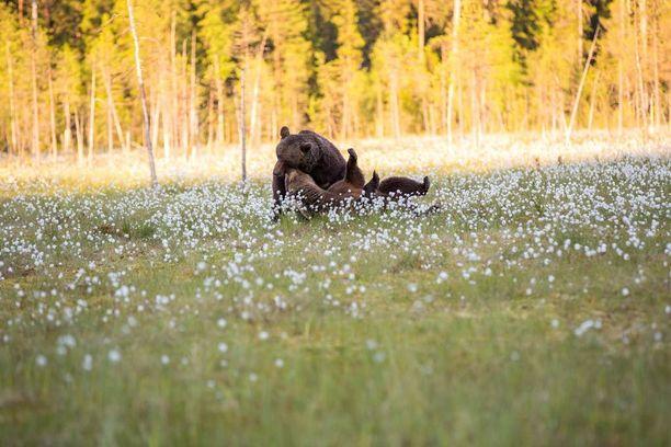 Karhut tekivät jonkinlaisia esileikkejä ennen parittelua.