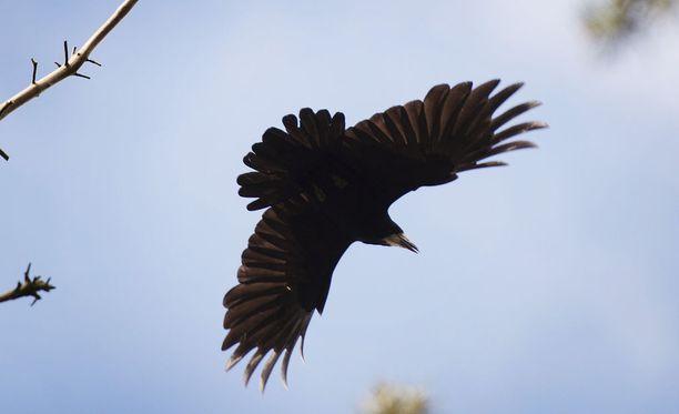 Mustavaris on tuttu lintu myös Suomessa. Kuvituskuva Porista.