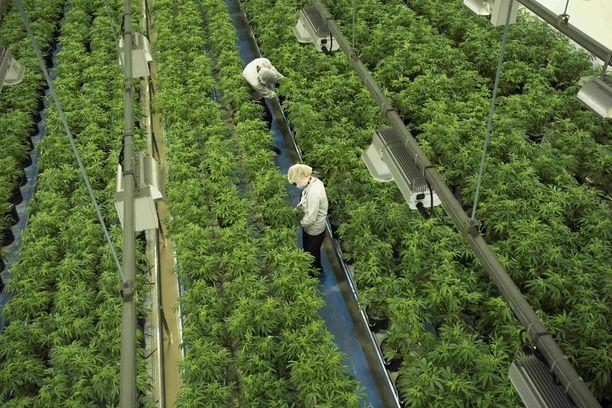 Canopy Growhtin markkina-arvo oli torstaina noin 15 miljardia dollaria.