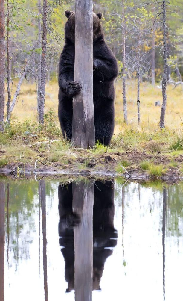 Tässä suomalaiskuvaajan finaaliotos piilottelevasta karhusta.