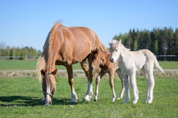 Hevoset elävät nyt oikean hevosperheen elämää.
