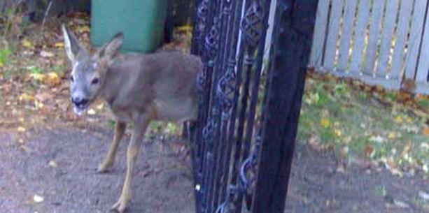Peuranvasa jäi kiinni omakotitalon rautaporttiin.