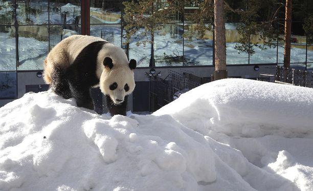 Pandat toivat kaivattua eloa pieneen Ähtäriin.