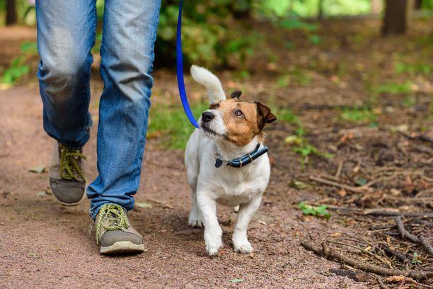 Koirien liikunnassa tulee välttää yhtäkkisiä rasituspiikkejä, se kipeyttää niitä kuten ihmisiä.