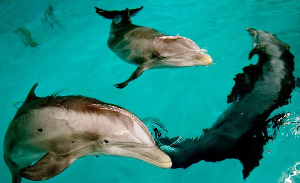 Särkänniemen mukaan delfiinien siirtokohdetta pohdittaessa selvitettiin useita eri vaihtoehtoja.