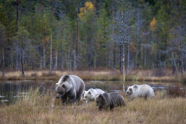 Karhuemolla riittää paimennettavaa.