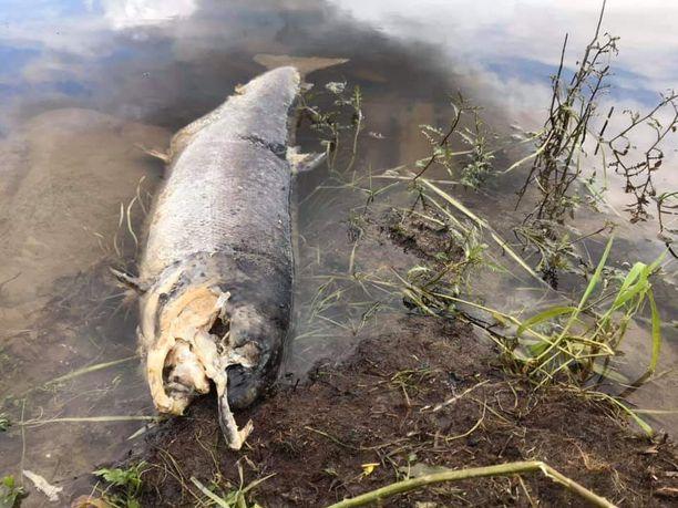 Johan Fors on pyrkinyt hautaamaan löytämänsä ja kuvaamansa kalat saman tien.