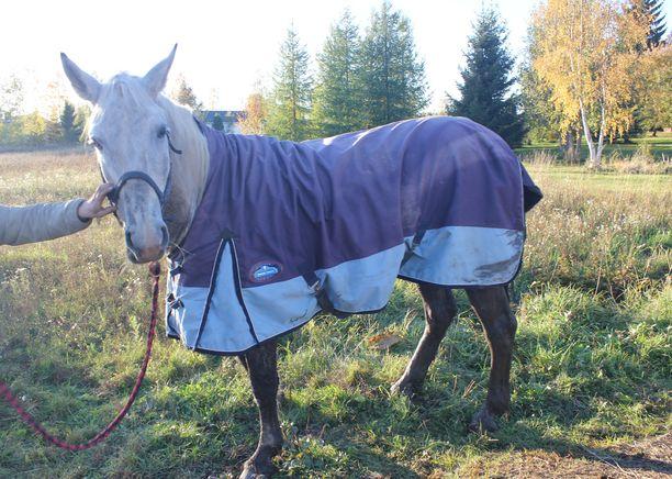 Tikru-hevonen sai kotitallilla huolenpitoa rankan reissun jälkeen.