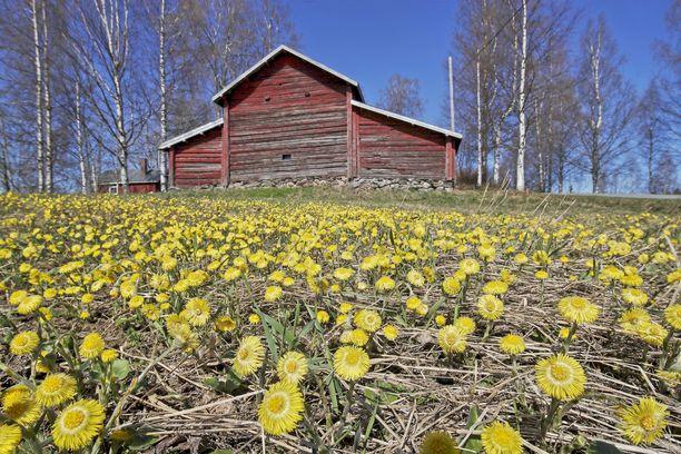 Kevät ja alkukesä ovat Suomen ilmaston kuivinta aikaa. Mitä aikaisemmin kasvukausi alkaa, sen parempi merkki se on yleensä vuoden sadon kannalta. Arkistokuva.