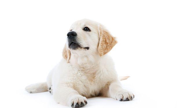 Koiranpennut ovat ihania.