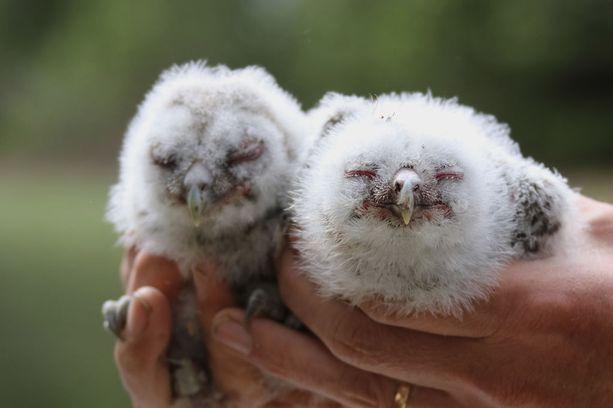 Pienet lehtopöllön poikaset.
