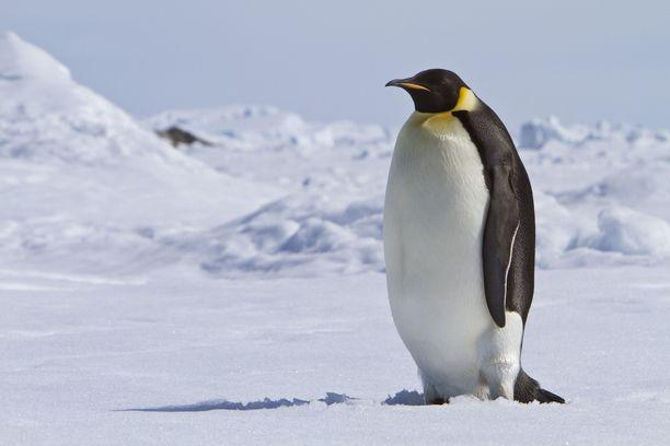 Keisaripingviinin kotona kasvoi aiemmin rehevä viidakko.