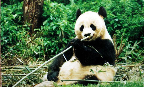 Suomeen saattaa tulevaisuudessa muuttaa pandakarhuja.