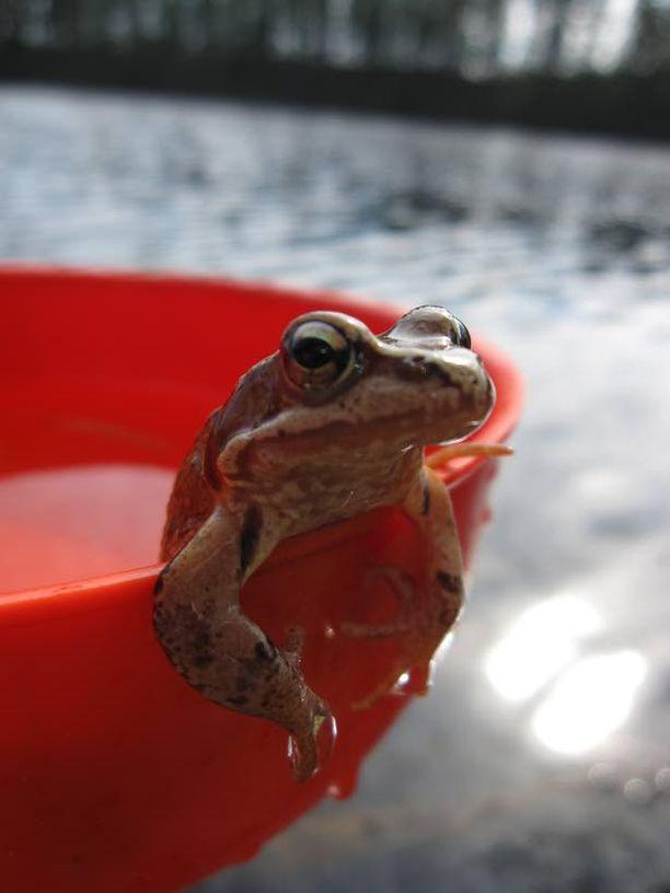 Saku sammakko päätti poseerata kuvaa varten.