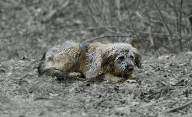 Pentutehtaasta löytyi 38 osin erittäin huonokuntoista koiraa. Kuvan koira ei liity tapaukseen.