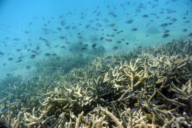 Kuollut koralli haalistuu ja menettää luonnollisen värinsä.
