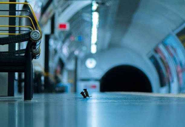 Hiiret kinastelevat ruoanmurusista metrolaiturilla.