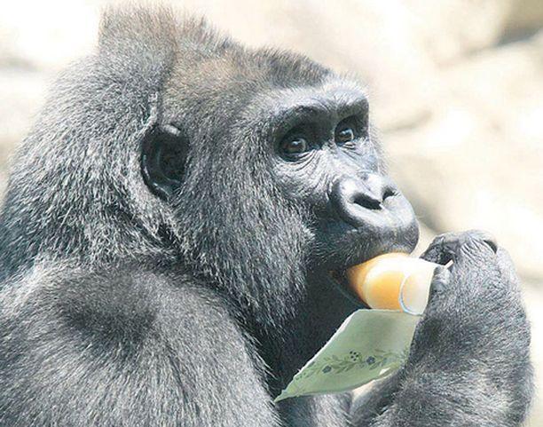 NAMI-NAMI! Bostonia koettelevan helleaallon aikana paikallisen eläintarhan gorilloja ruokitaan pakastetulla tuoremehulla.