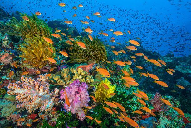 Jotkut korallit ovat jopa 4 000 vuotta vanhoja.