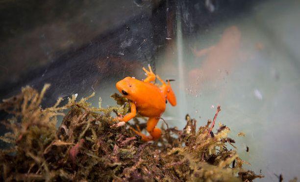 Korkeasaari toivoo, että uhanalaisia sammakoita voidaan palauttaa tulevaisuudessa takaisin luontoon.