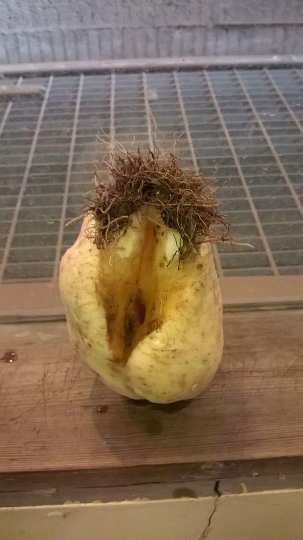 Anne löysi aikamoisia perunoita.