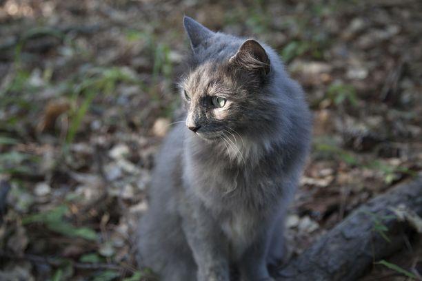 Tarkoituksena on loukuttaa ja lopettaa villiintyneitä kissoja. Määräys on annettu pienelle alueelle Isoonkyröön. Taustalla ovat vuosikausia jatkuneet ongelmat. Kuvituskuva.