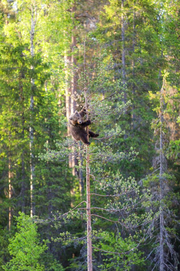 Pieni karhu suuntasi kiipeilyretkensä jälkeen painimaan ystäviensä kanssa.