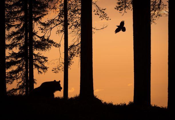 Vuoden luontokuva Karhu ja korppi on tuomariston mukaan teknisesti taidokas ja sommitelmana loistava.