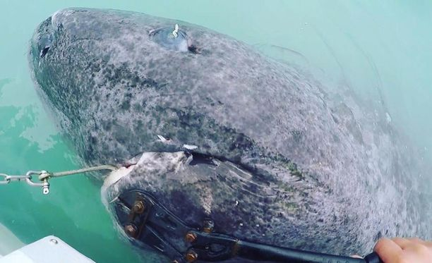 512-vuotias jäähai on vanhin tunnettu selkärankainen.
