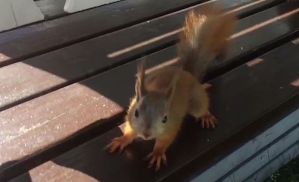 Oravaperheen tuttavallisuus yllätti Torniossa.
