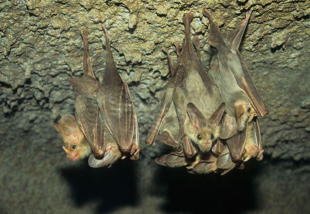 Vampyyrilepakot ovat oppineet välttelemään sairastuneita lajitovereitaan.