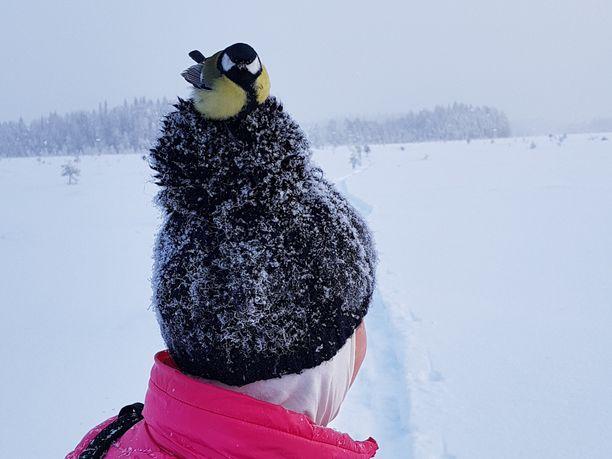 Rohkea talitiainen löysi levähdyspaikan Milla Mäenpään piposta.