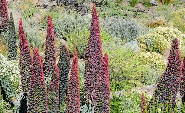 Korkeakukintoinen kuningatarneidonkieli on Teiden kansallispuistolle tyypillinen kasvi.