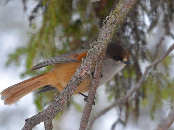 Kuukkeli on pohjoiseen taantunut naavakuusikoiden lintu, jota jätkän onnenlinnuksi sanotaan.