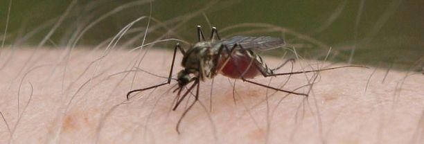 Runsasluminen talvi vaikuttaa kesän hyttystilanteeseen.