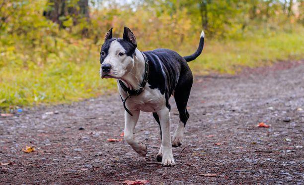 Nuoren naisen kimppuun hyökännyt koira saattoi silminnäkijän mukaan olla amstaffi (kuvassa) tai pitbull. (Arkistokuva. Kuvan koira ei liity tapahtumiin.)