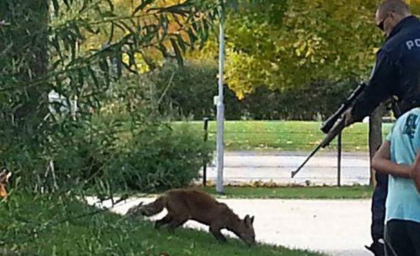 Poliisi ampui ketun leikkipuistoon, kun se oli puraissut yhtä poliisimiestä.