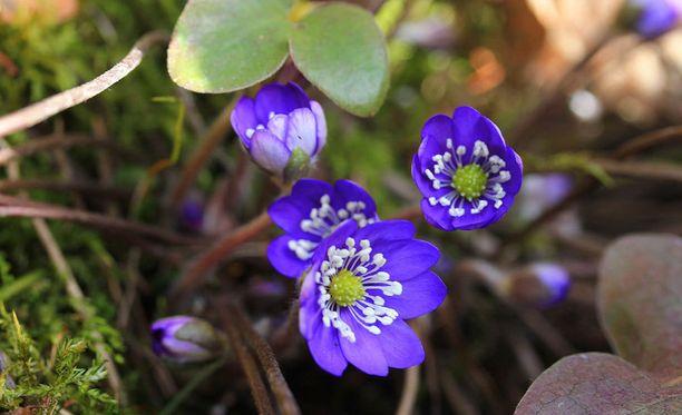Sinivuokot kukkivat jo Etelä-Suomessa.