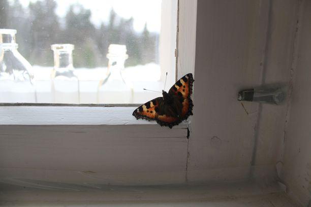 Kevätaurinko herätti nokkosperhosen (Aglais urticae) talvihorroksesta omakotitalon sisätiloissa Pohjois-Savossa Rautavaaralla sunnuntaiaamuna. Tokkurainen perhonen lenteli talon sisällä ikkunan edessä. Kyseessä on aikuisena talvehtinut yksilö, mutta se saattaa palata vielä horrokseen. Nokkosperhonen on levinnyt Suomessa pohjoisimpaan Lappiin asti. Yleisesti perhoset lähtevät liikkeelle vasta huhtikuun puolella.