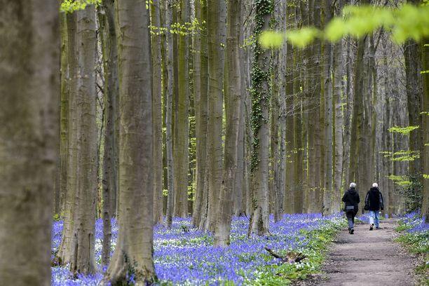 Hallerbosin metsässä kulkee patikkareittejä, ja keväisin niillä riittää kulkijoita.