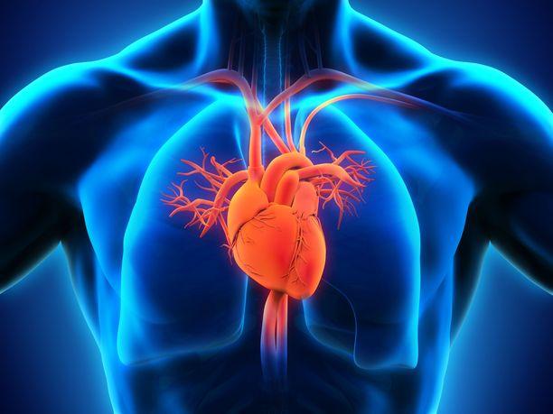 Aortta alkaa sydämestä ja jatkuu muun muassa vatsan alueelle, jossa se haarautuu pienemmiksi verisuoniksi.