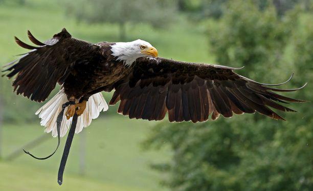 Valkopäämerikotka on USA:n kansallislintu.Se poistettiin maan uhanalaisten lajien listalta vuonna 1995 vuosia jatkuneiden suojelutoimenpiteiden ansiosta.