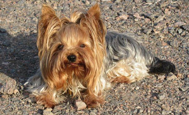 Kennellliitto palkitsee jälleen joulukuussa 18 Yayan tavoin ihmishenkiä pelastanutta koiraa.