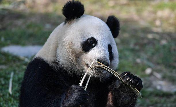 Kiinan vuokraamat pandat Lumi ja Pyry asuvat Ähtärin eläinpuistossa. Kuvassa Jin Bao Bao eli Lumi.