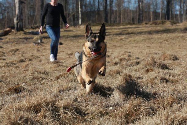 Saksanpaimenkoira puri kahta ohikulkijaa Vaasassa viime perjantaina. Kuvan koira ei liity tapaukseen.