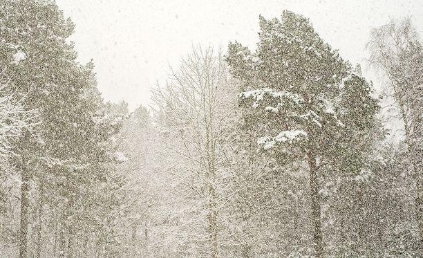 Puut eivät jaksa kannatella sankan lumisateen aikaansaamaa kuormaa.
