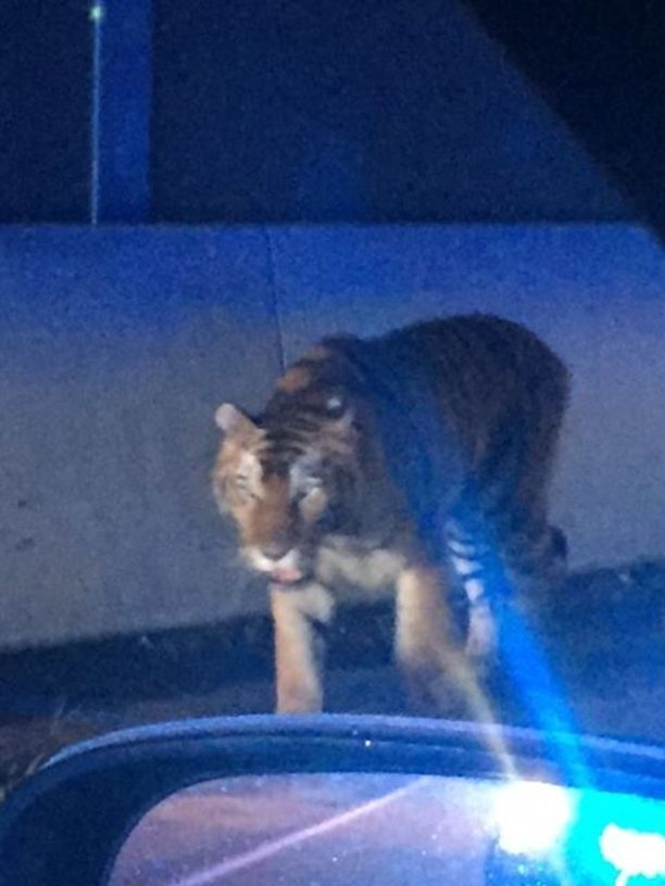 Tiikerin pelättiin aiheuttavan vaaraa lähistön asukkaille, joten se päätettiin lopettaa.