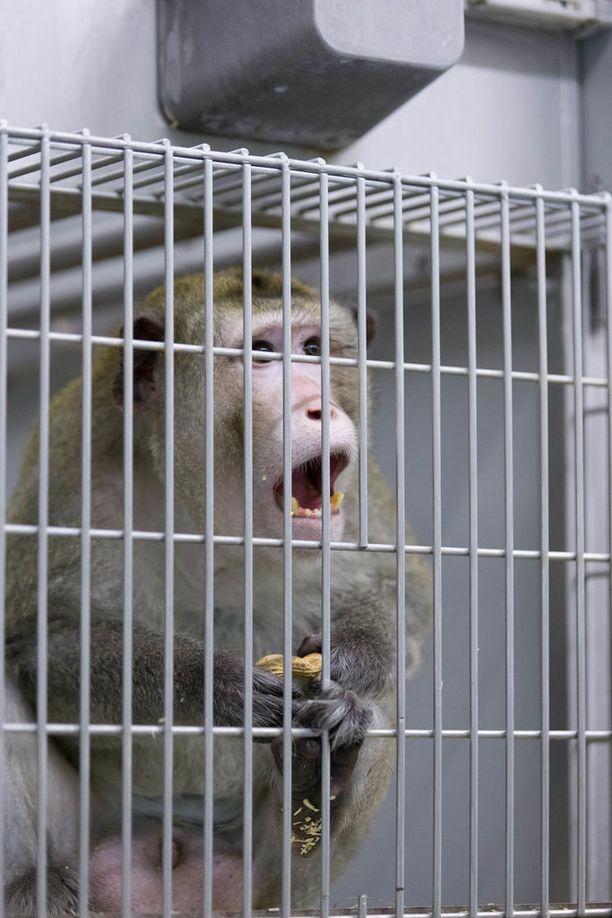 Kymmenen makakiapinaa laitettiin hengittämään pakokaasuja neljäksi tunniksi. Kuvituskuva.