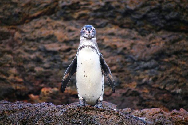 Galapagossaarilla elää kaikkein pohjoisin pingviinilaji.